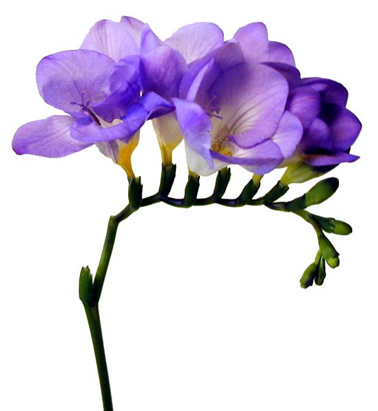 Purple Freesia.jpg