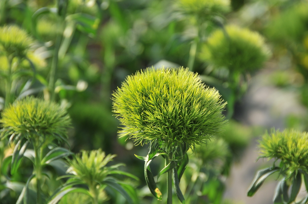 green ball and green trick dianthus  bloom expert, Natural flower