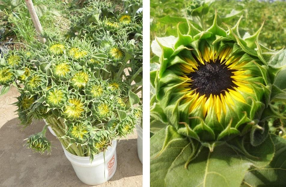 Closed sunflowers
