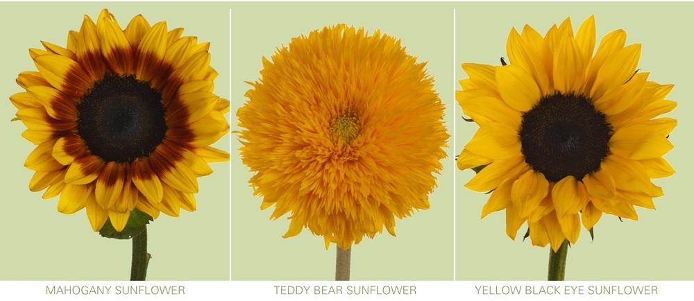 sunflower varieties