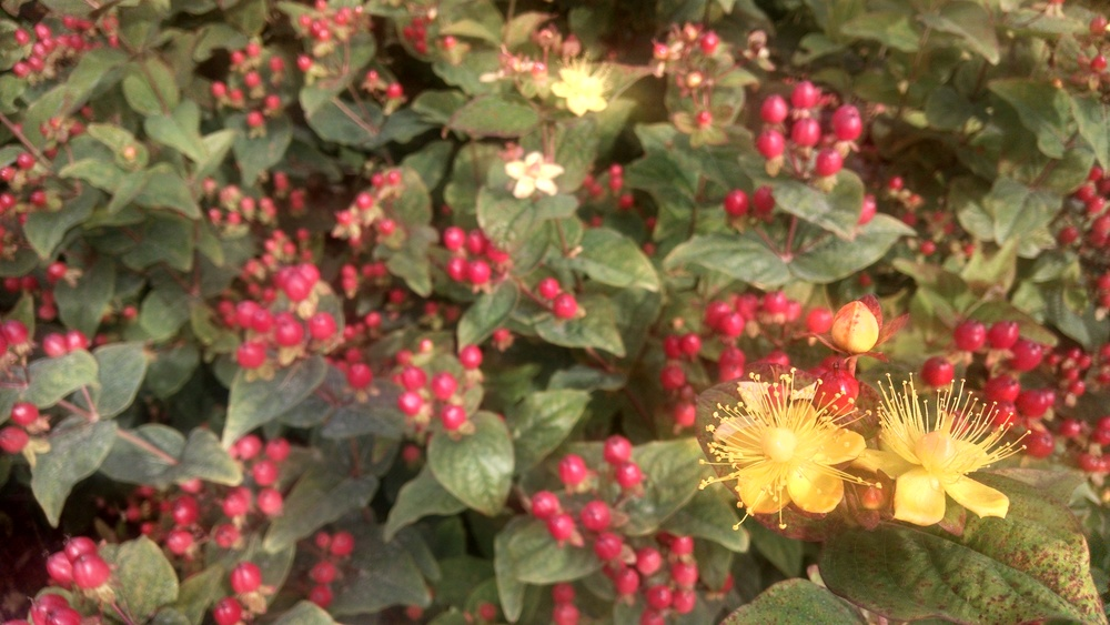 hypericum flowers and berries