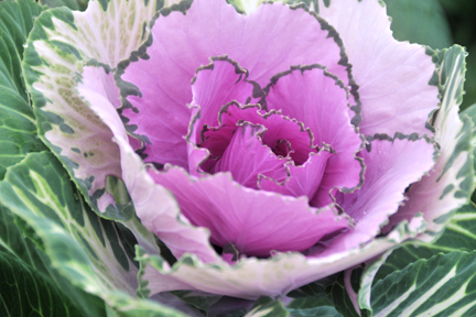 lavender brassica
