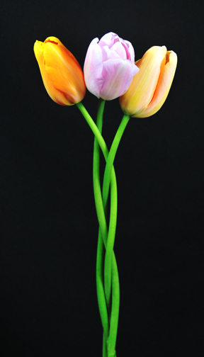 long french tulips