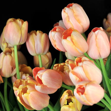french tulip bunch.jpg