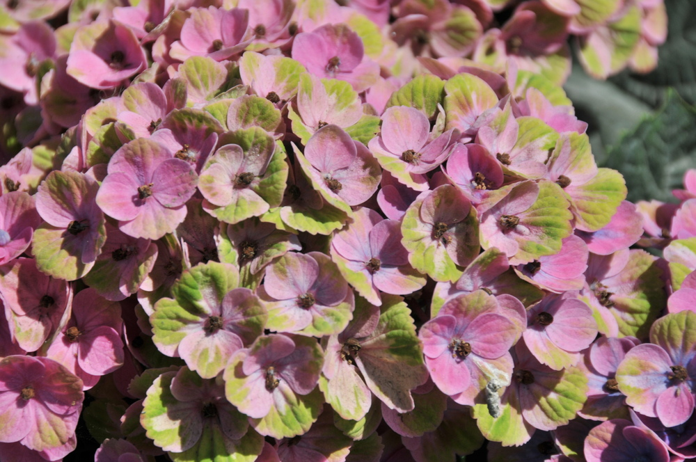 Antique hydrangea pink and green
