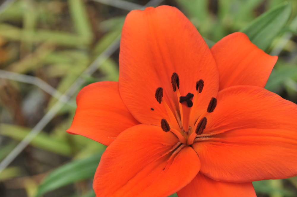orange asiatic lily