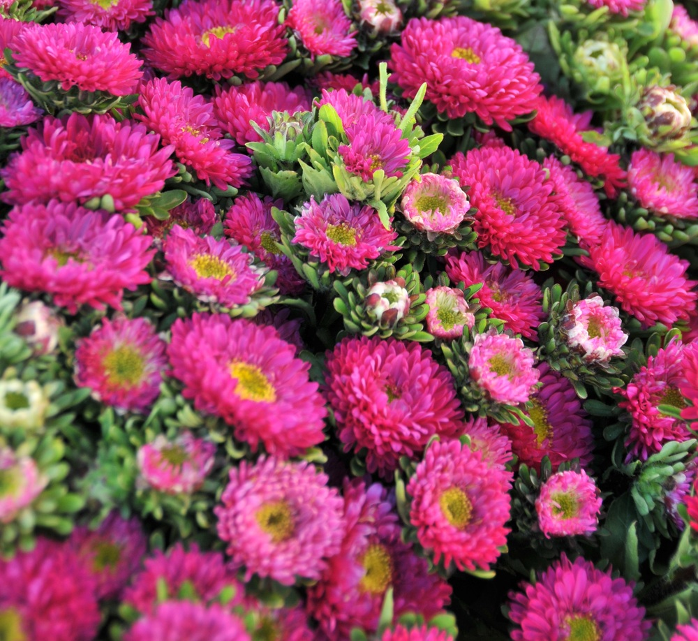 Hot Pink Matsumoto Asters