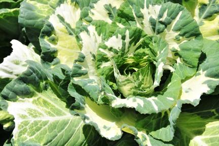 Variegated Flowering Kale