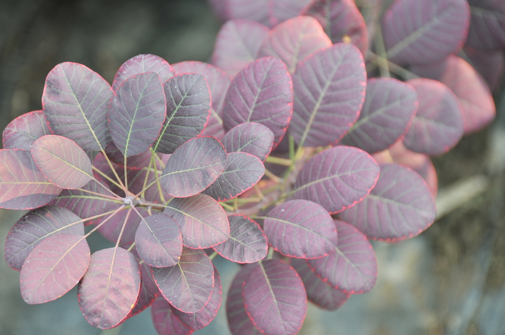 Royal Purple Cotinus Leaves