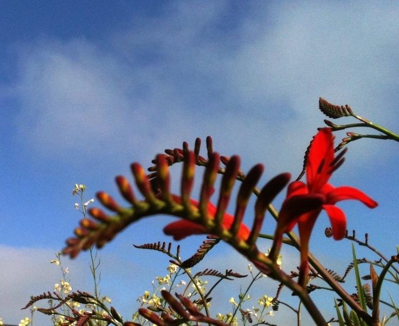crocosmia flower