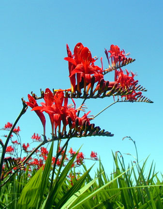 crocosmia blooms