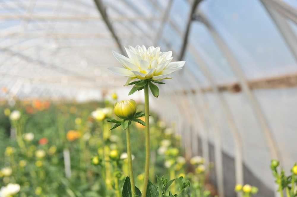 white dahlia growing