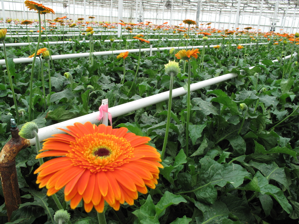 Gerbera Daisy in a Greenhouse