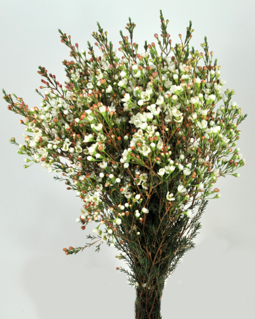 A little note about waxflower bloom expert the plant is endemic to western australia and the scientific genus is chamelaucium the flowers are small and have five petals and ten stamens mightylinksfo Choice Image
