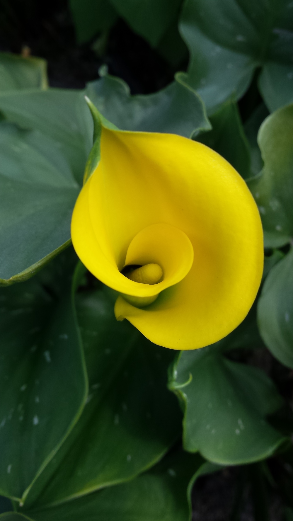 yellow calla lily zantedeschia