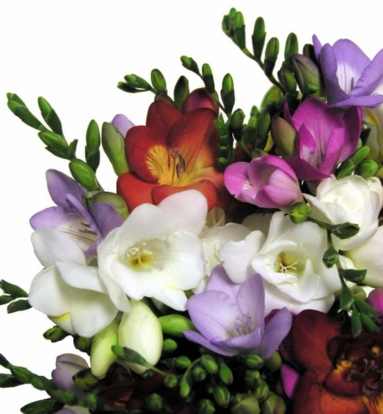 multicolor freesia