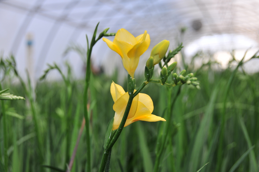 growing freesia