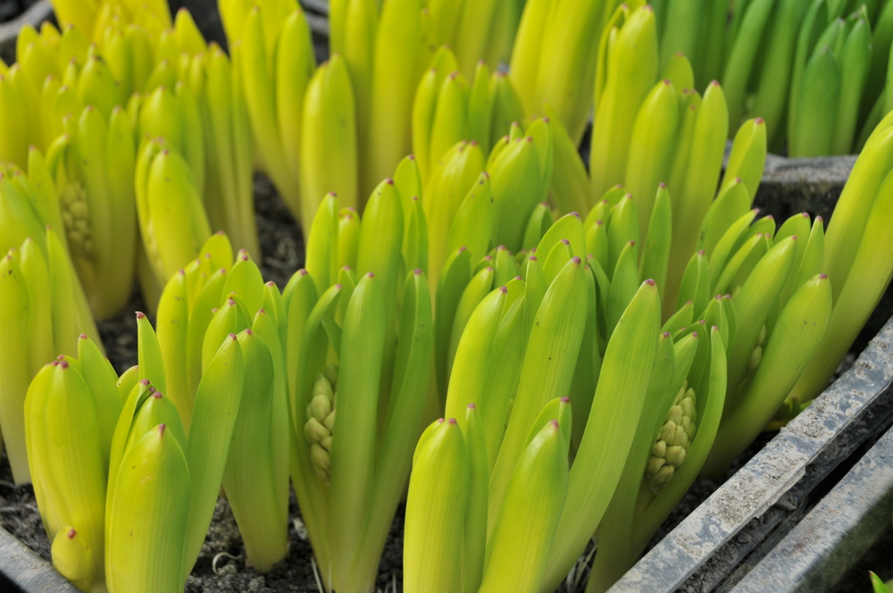 hyacinth sprouts