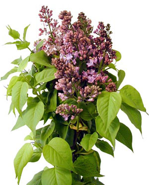 lavender lilac information bloom expert