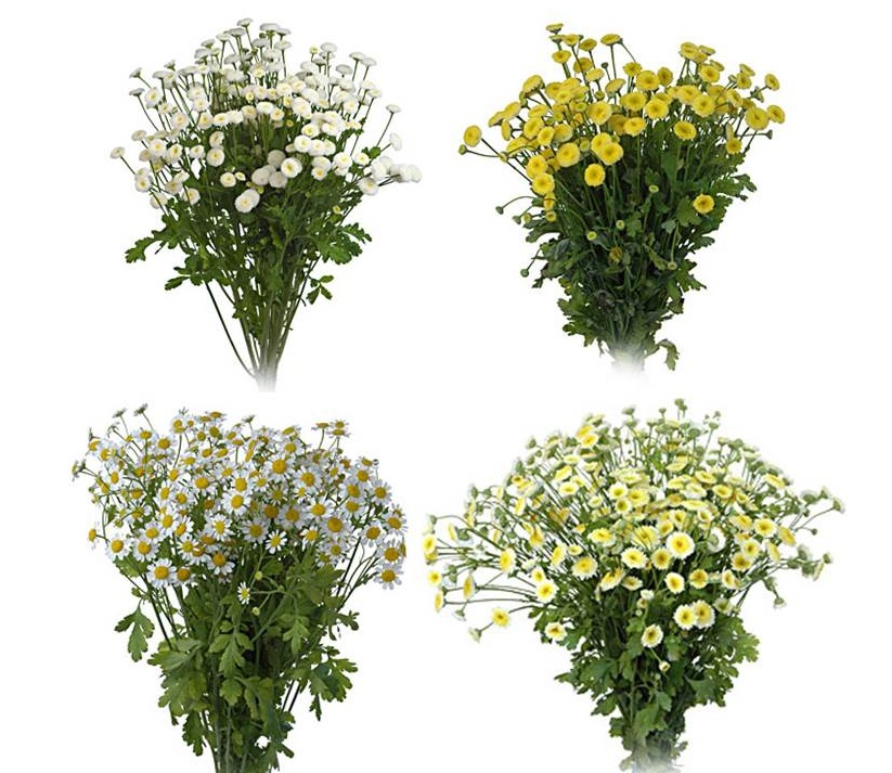 Clockwise from top left: White Button, Yellow Button, White cushion, and White Daisy Matricaria