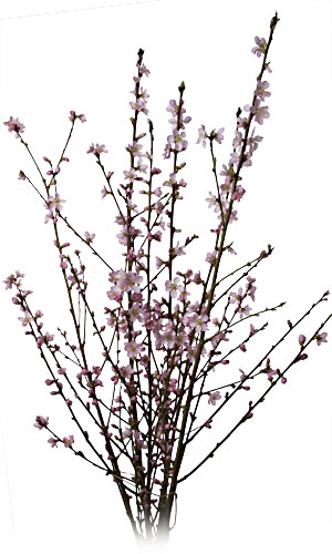 Cut Flower Peach Branches