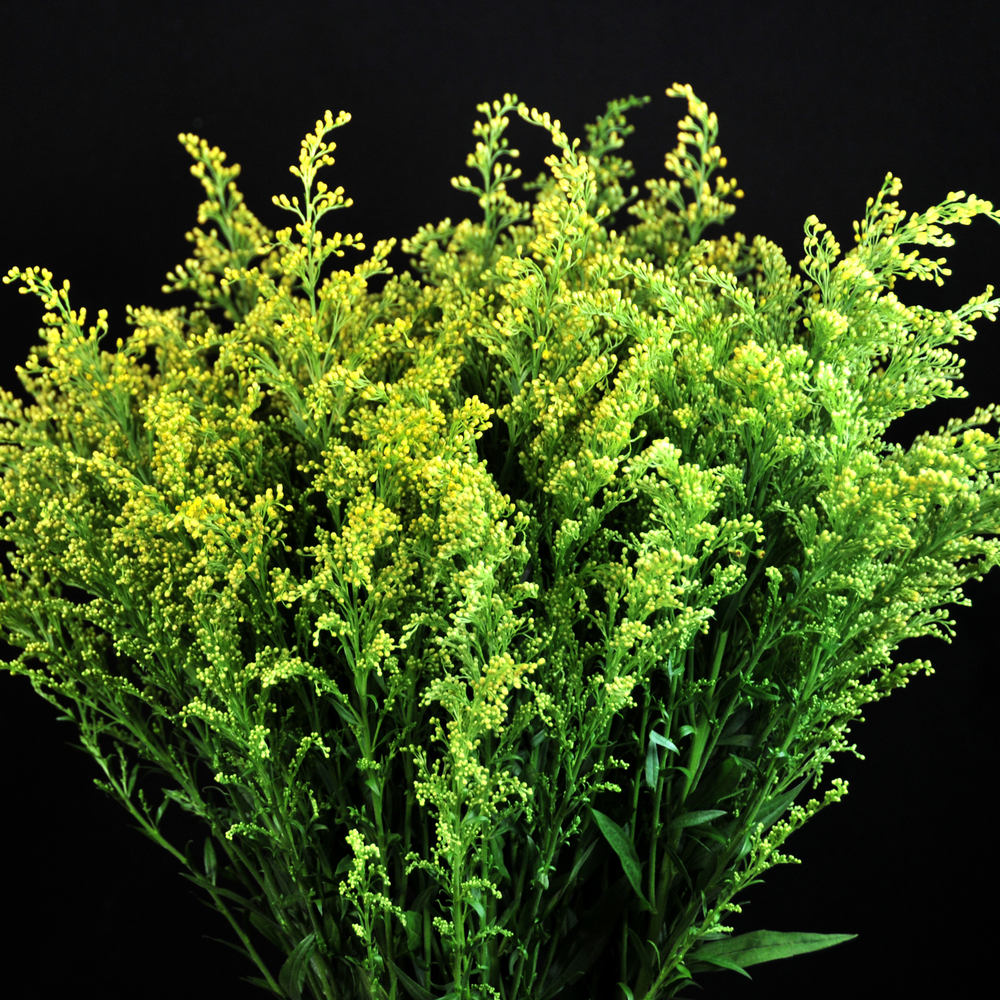 Solidago bouquet