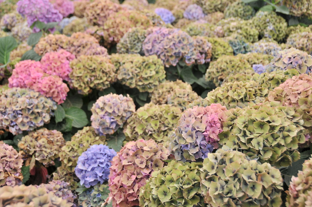 antique hydrangea bloom expert