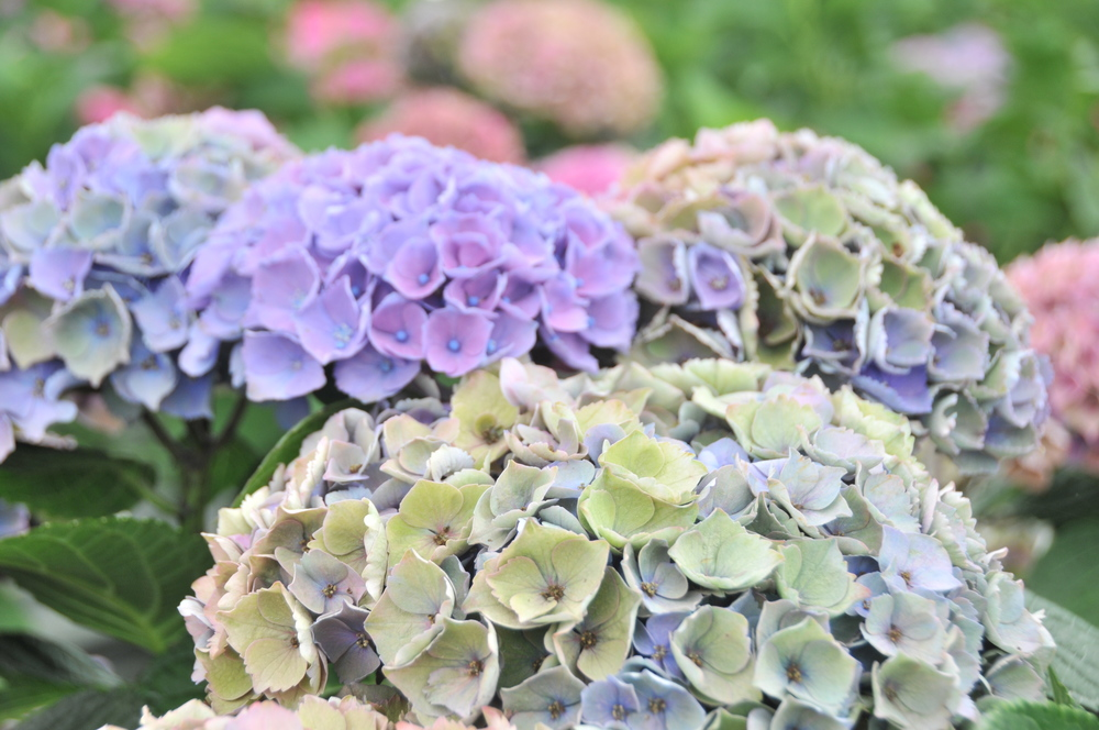 antique hydrangea varieties