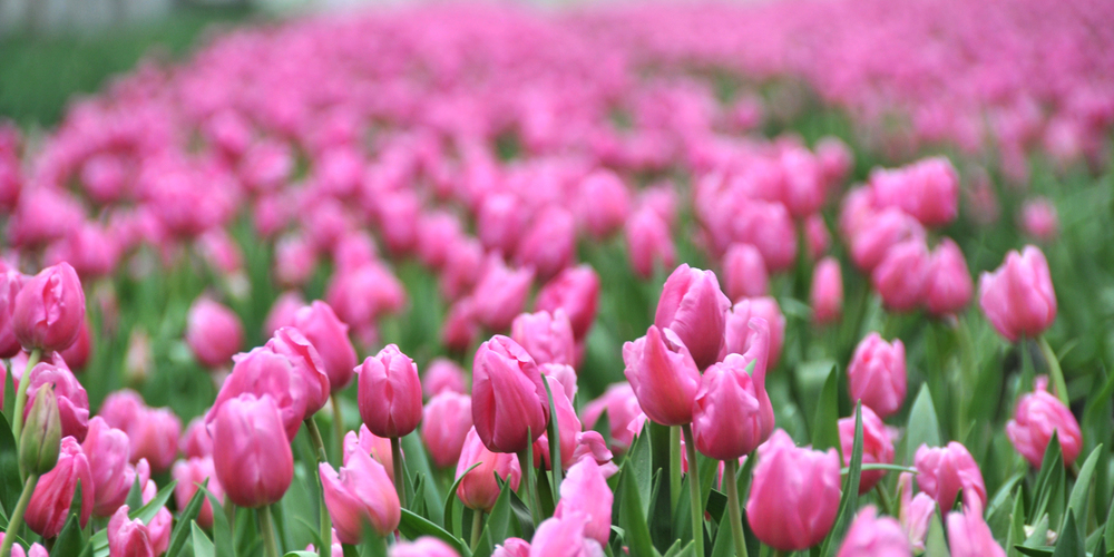 bloom expert tulips 01.jpg