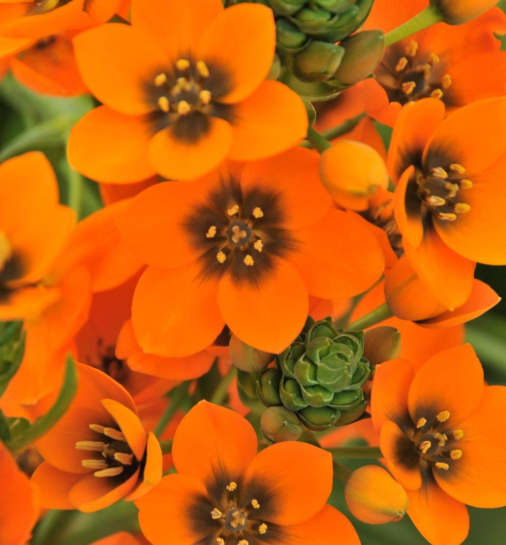 orange florets.JPG