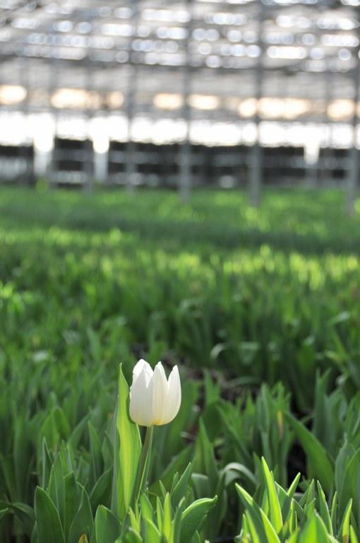 bloomexpert.com tulips