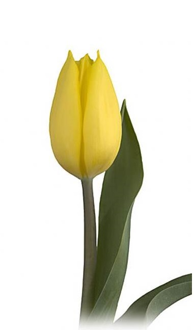 bloomexpert.com strong gold tulip