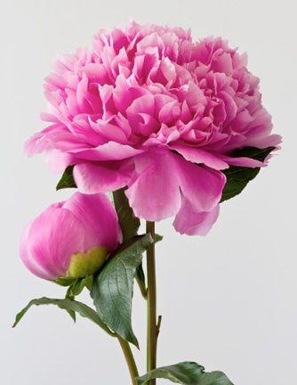 Bloom Expert Peony.jpg
