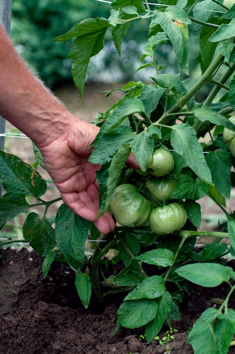 hand_tomato.jpg