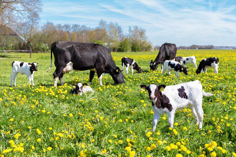 iStock-Cows in field.jpg