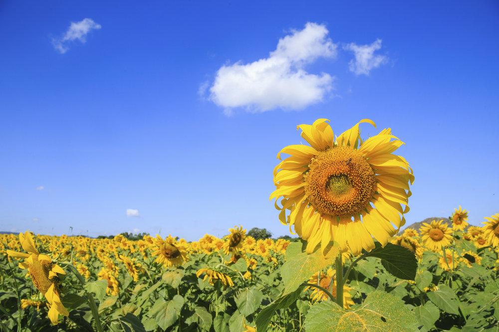 Sunflower garden.jpg