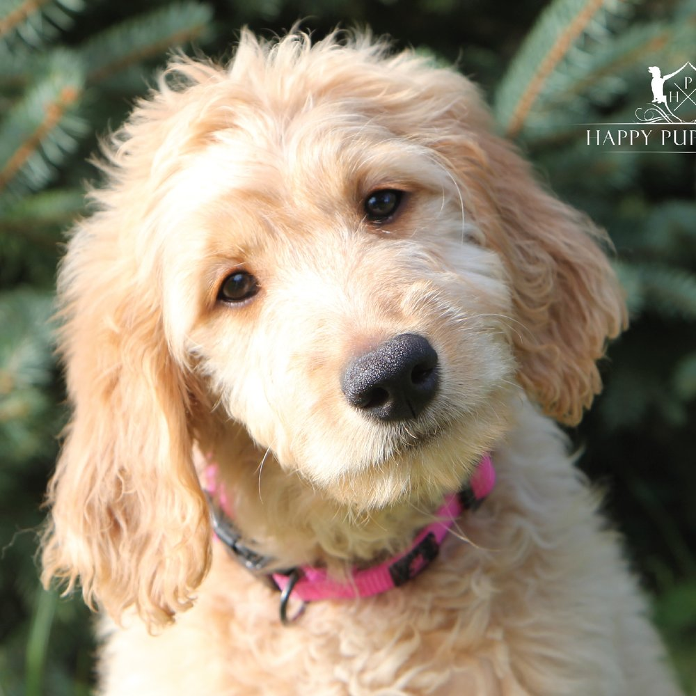 Charlee the Goldendoodle