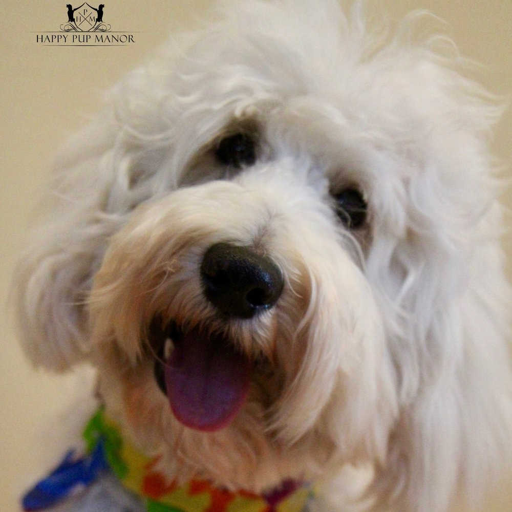 Sailor the Goldendoodle