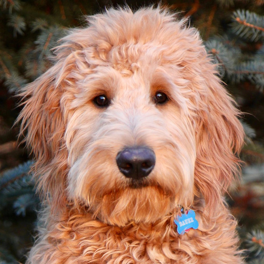 Bauer the Goldendoodle