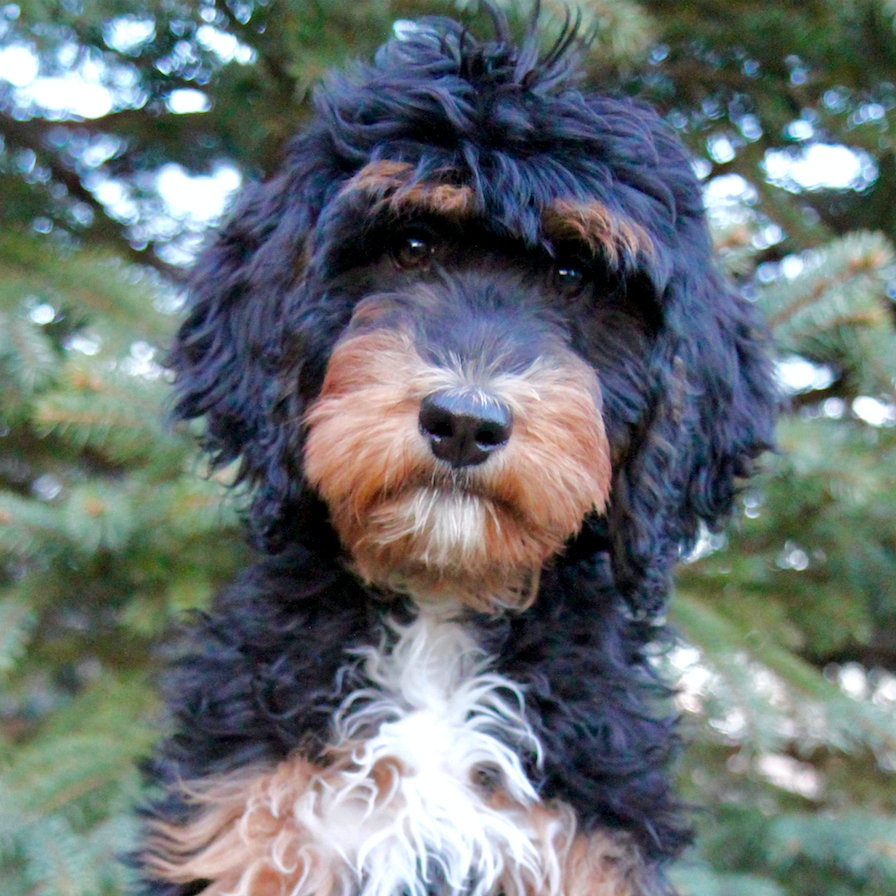 Winnie the Bernedoodle