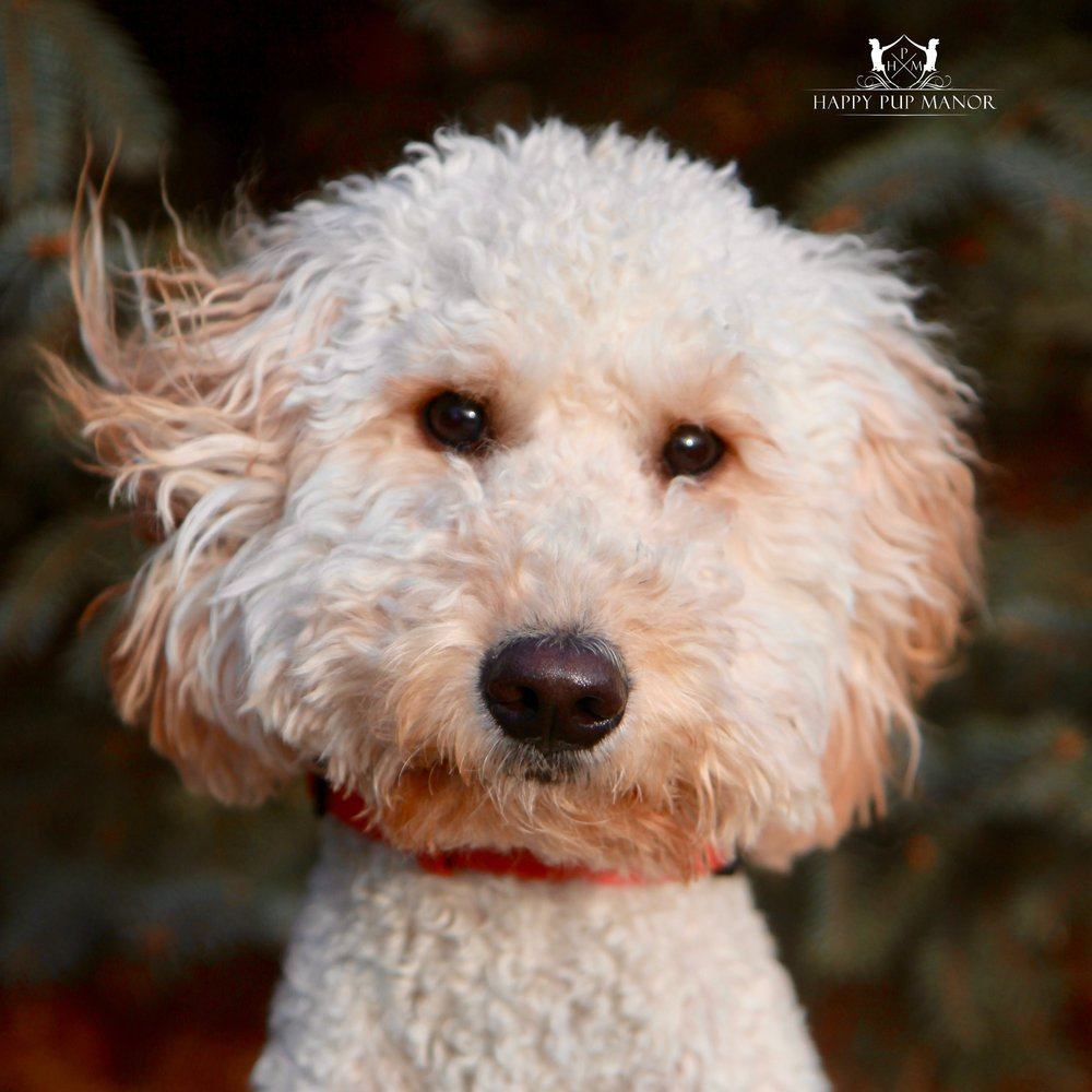 Lucy the Goldendoodle