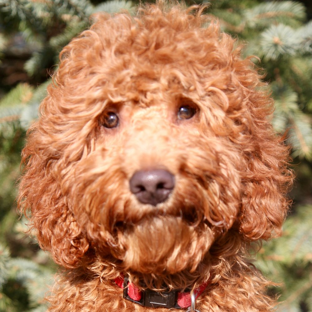 Charlie the Goldendoodle