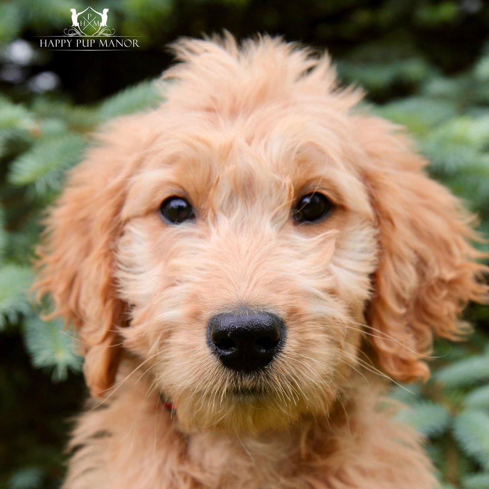 Topher the Goldendoodle