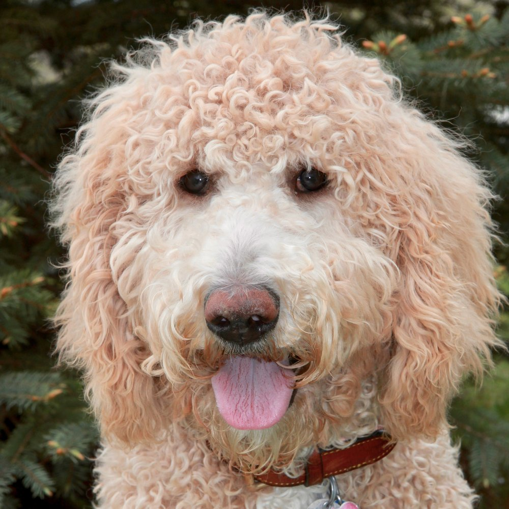 Nala the Goldendoodle