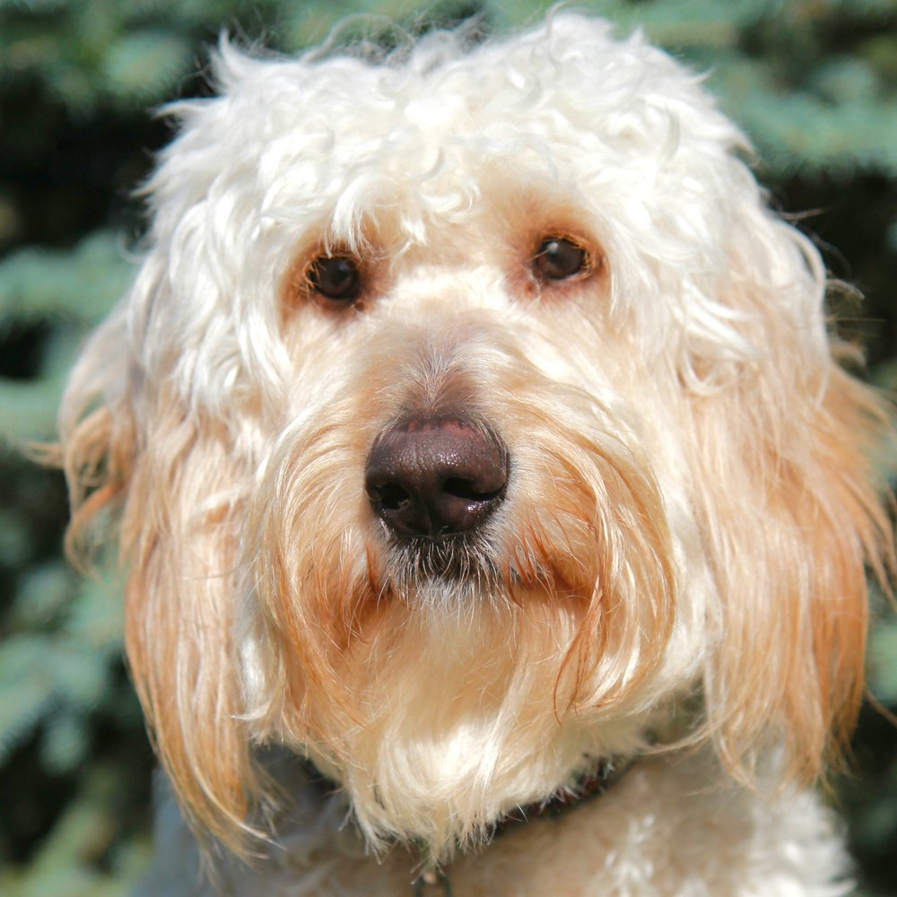Deogee the Goldendoodle