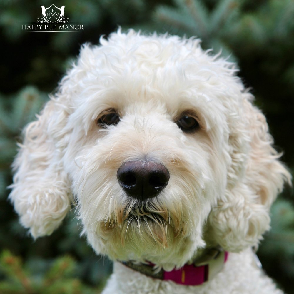 Shandy the Springerdoodle