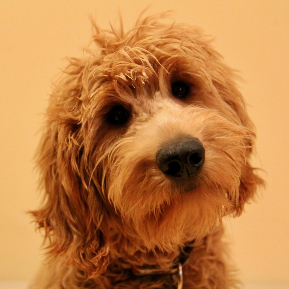 Sunday the Goldendoodle