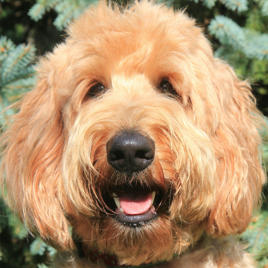 Lucy the Australian Labradoodle