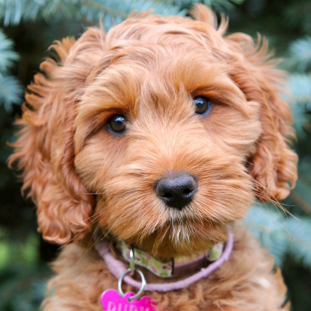 Ruby the Australian Labradoodle