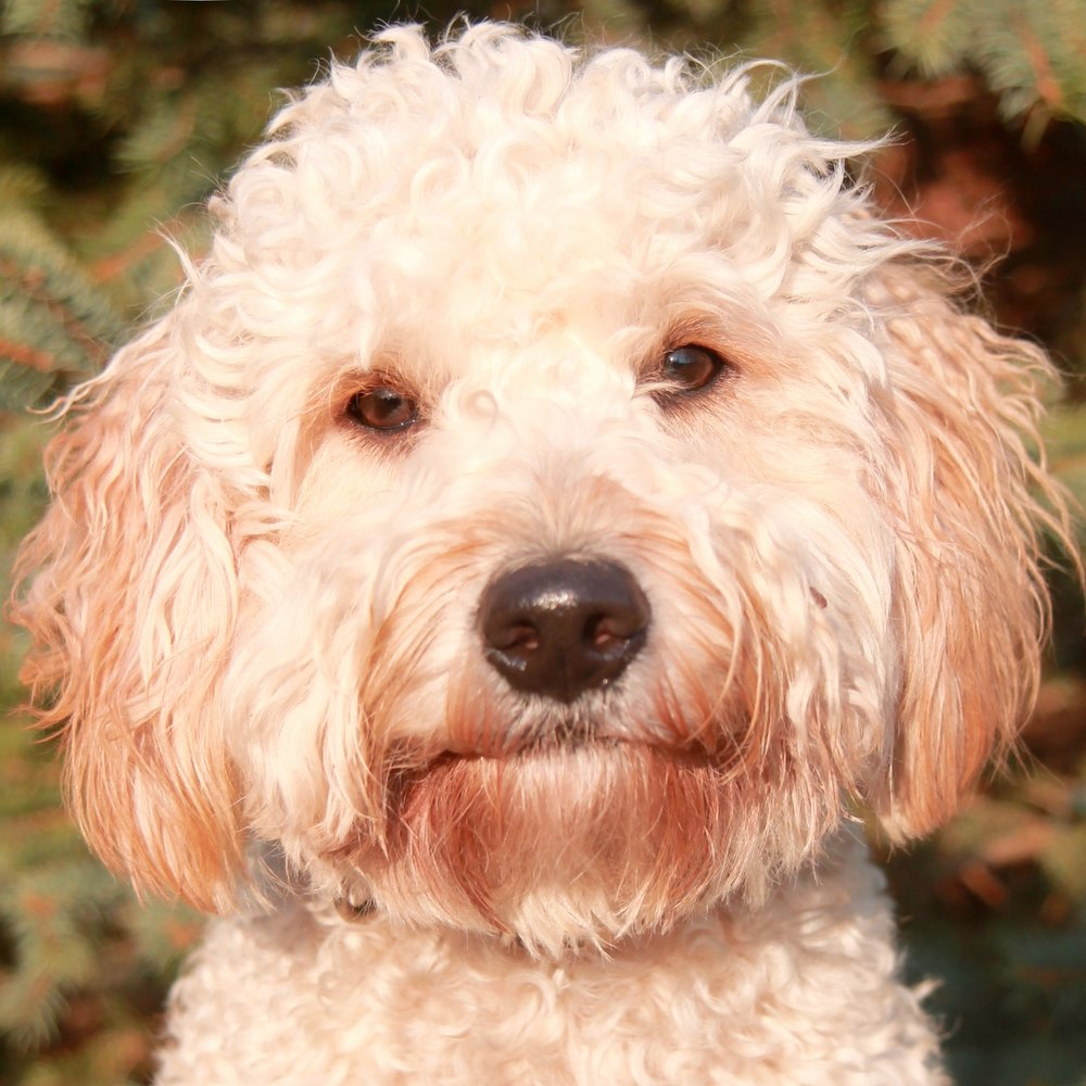 Ernie the Goldendoodle